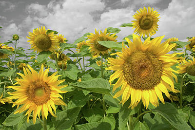 Photograph - Sunflowers I by Dylan Punke