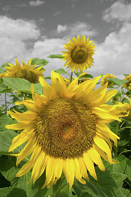 Photograph - Sunflowers II by Dylan Punke
