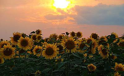 Photograph - Sunflowers In A Golden Sunset by Karen McKenzie McAdoo