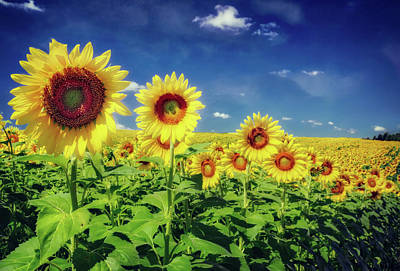 Sunflowers In A Row -  Pope Farm Conservancy  Art Print by Jennifer Rondinelli Reilly - Fine Art Photography