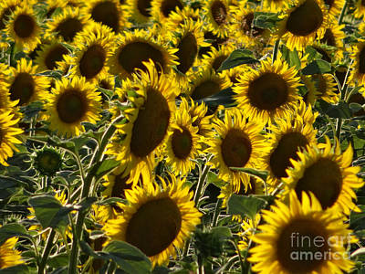 Photograph - Sunflowers In Avignon-04 by Christopher Plummer