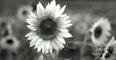 Sunflowers In Black And White Art Print by April Ann Canada