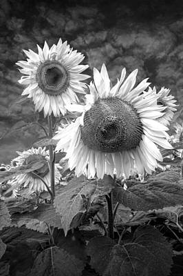 Yellow And Orange Sunflower Photograph - Sunflowers In Black And White Blooming In A Field Near Rockford Michigan by Randall Nyhof