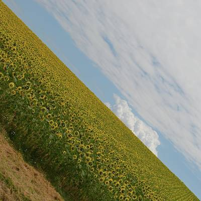 Photograph - Sunflowers In Contrast by Cheryl Miller