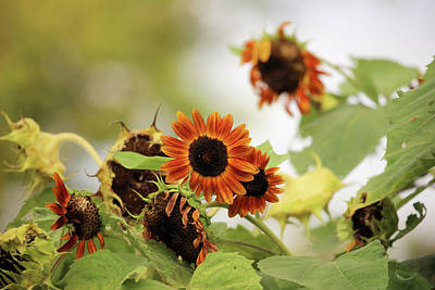 Photograph - Sunflowers In Fall by Theresa Campbell