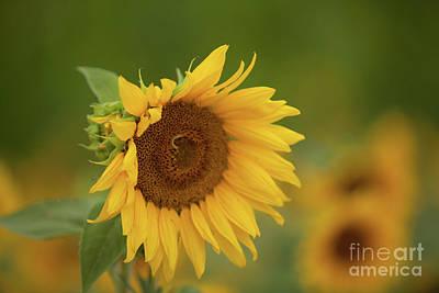 Sunflowers In Field Art Print