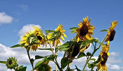 Photograph - Sunflowers In July by Ellen Paull