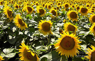 Photograph - Sunflowers In Provence by JK McCrea