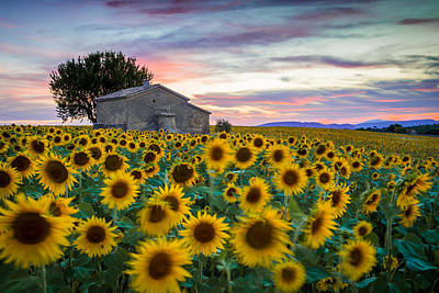 Photograph - Sunflowers In Provence by Stefano Termanini