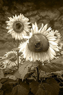School Teaching - Sunflowers in Sepia near Rockford Michigan by Randall Nyhof