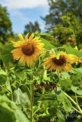 Sunflowers In Sunshine Art Print