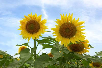 Texas Sunflower Photograph - Sunflowers In Texas Summertime 1 by Rob Greebon