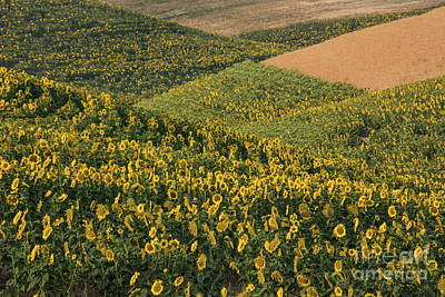 Photograph - Sunflowers In The Palouse by John Greco