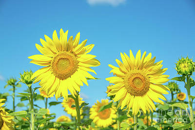 Photograph - Sunflowers In The Sun by Cheryl Baxter