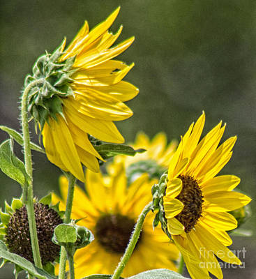 Photograph - Sunflowers In The Wind by Toma Caul