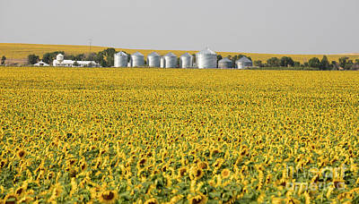 Photograph - Sunflowers by Jim West
