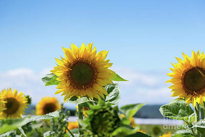 Photograph - Sunflowers by Les Palenik