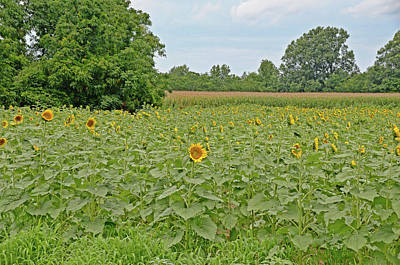 Photograph - Sunflowers by Linda Brown
