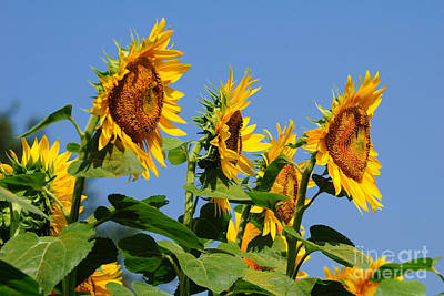 Buttonwood Farm Photograph - Sunflowers Looking East by Edward Sobuta
