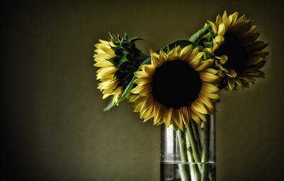 Sunflowers Royalty-Free and Rights-Managed Images - Sunflowers by Mauricio Jimenez