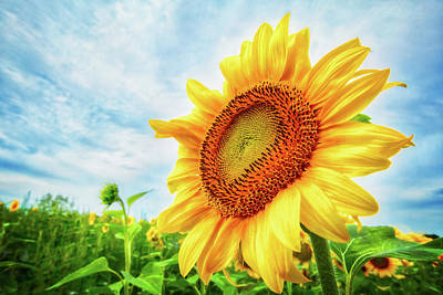Photograph - Sunflowers Of Pope Farm Conservancy  by Jennifer Rondinelli Reilly - Fine Art Photography