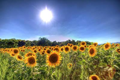 Photograph - Sunflowers Of Summer by David Pyatt