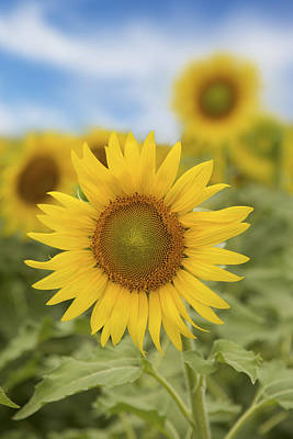 Texas Sunflower Photograph - Sunflowers On A June Afternoon 1 by Rob Greebon
