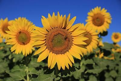 A Sunny Morning Photograph - Sunflowers On A Summer Morning by Lynn Hopwood