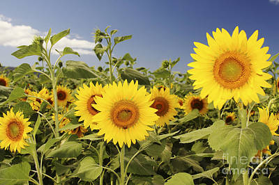 Photograph - Sunflowers On North Shore by Vince Cavataio - Printscapes