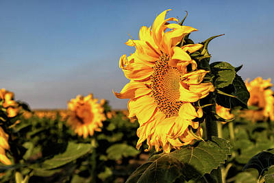 Photograph - Sunflowers On The Colorado Plains by Tony Hake