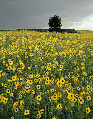 Photograph - 216003-sunflowers On The Great Plains   by Ed  Cooper Photography