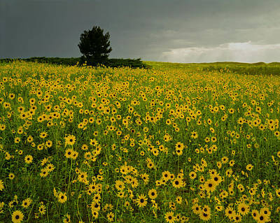 Photograph - 216004-sunflowers On The Great Plains  by Ed  Cooper Photography