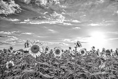 Sunflowers Photograph - Sunflowers Monochromatic by Tod and Cynthia Grubbs