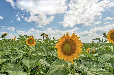 Sunflowers Reach Art Print