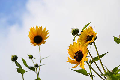 Photograph - Sunflowers Reaching For The Sky by Nadalyn Larsen