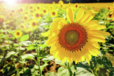 Robert Bellomy Royalty-Free and Rights-Managed Images - Sunflowers by Robert Bellomy