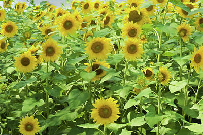 Photograph - Sunflowers Standing Straight In The Sunlight. by Rusty R Smith
