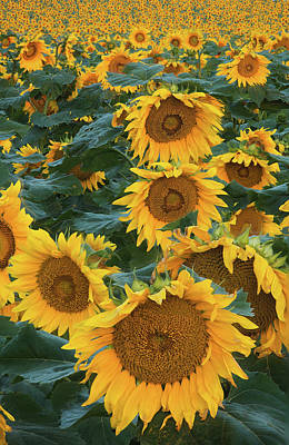 Sunflowers Art Print by Steve Gadomski