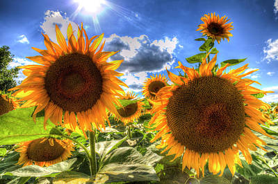 Photograph - Sunflowers Summer Days by David Pyatt