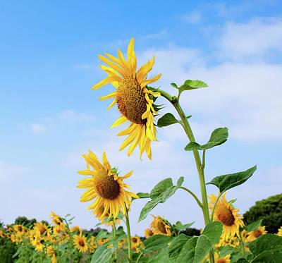 Sunflowers Summer Original