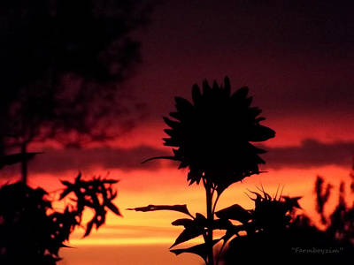 Photograph - Sunflower's Sunset by Harold Zimmer