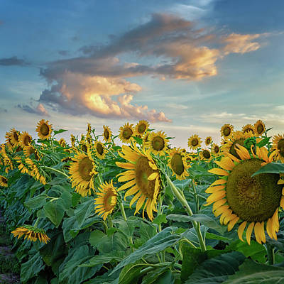 Photograph - Sunflowers Sunset Weldon Spring Mo Grk8311_07152018-hdr by Greg Kluempers