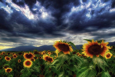 Photograph - Sunflowers Under The Stormy Skies by Plamen Petkov