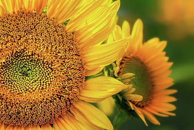 Photograph - Sunflowers Up Close by Carolyn Derstine