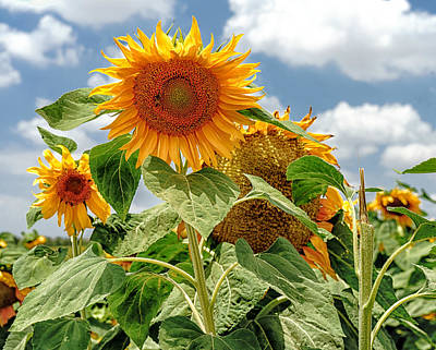 Photograph - Sunflowers by Uri Baruch