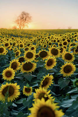 Photograph - Sunflowers V by Ryan Heffron