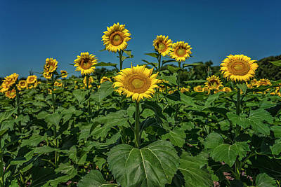 Photograph - Sunflowers Weldon Spring Mo Ver1_dsc9821_16 by Greg Kluempers