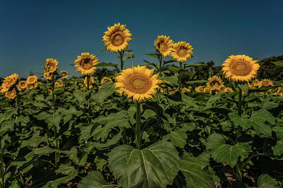 Photograph - Sunflowers Weldon Spring Mo Ver2_dsc9821_16 by Greg Kluempers