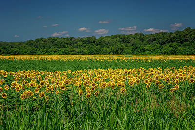 Photograph - Sunflowers Weldon Spring Mo_dsc9830_16 by Greg Kluempers