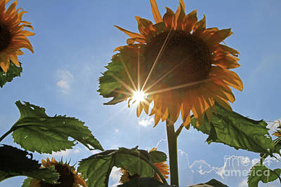 Photograph - Sunflowers With Sun And Clouds 3 3 by Paula Guttilla